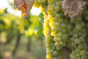 La agricultura del vino apuesta por la alta precisión incorporando drones